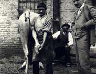 Shoeing Ox at Alessandria